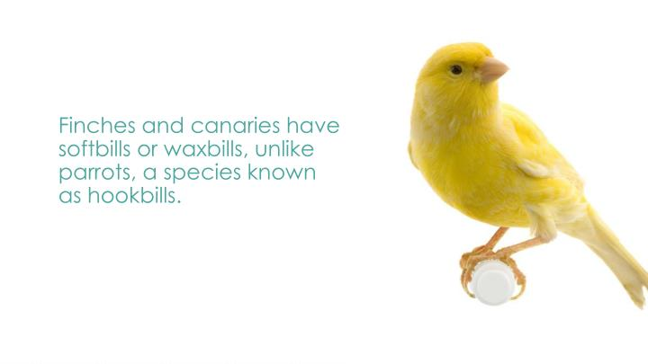Finches and canaries have