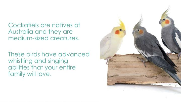 Cockatiels are natives of