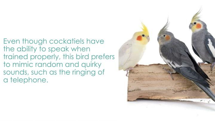 Even though cockatiels have