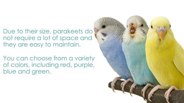 Due to their size, parakeets do