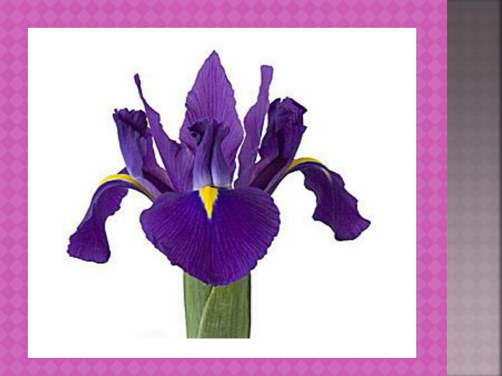Iris flowers www wholeblossoms com