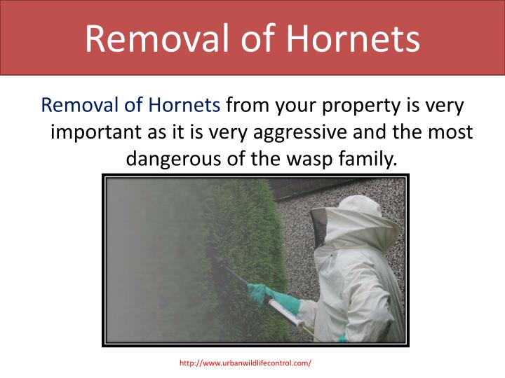 Removal of hornets