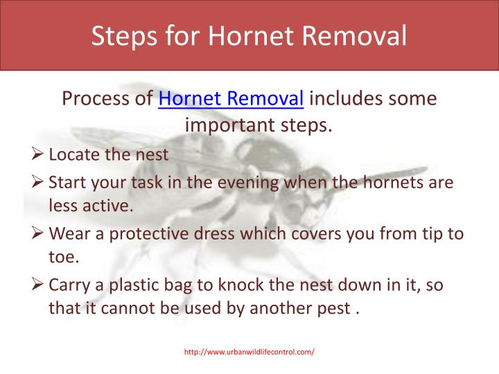 Steps for Hornet Removal