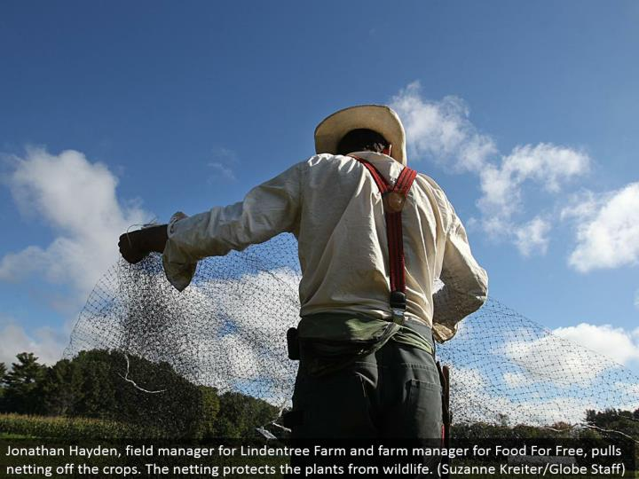Jonathan Hayden, field supervisor for Lindentree Farm and ranch administrator for Food For Free, pulls netting off the products. The mesh shields the plants from natural life. (Suzanne Kreiter/Globe Staff)