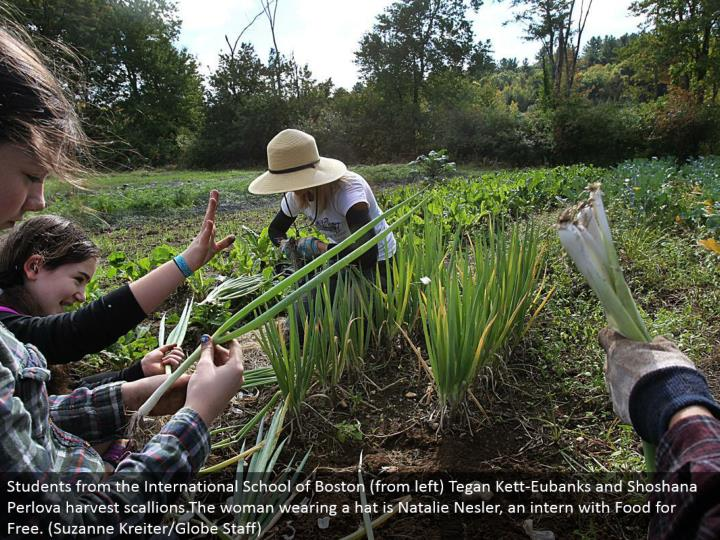 Students from the International School of Boston (from left) Tegan Kett-Eubanks and Shoshana Perlova collect scallions.The lady wearing a cap is Natalie Nesler, an assistant with Food for Free. (Suzanne Kreiter/Globe Staff)