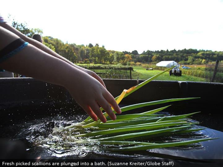Fresh picked scallions are dove into a shower. (Suzanne Kreiter/Globe Staff)