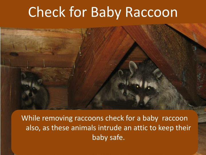 Check for Baby Raccoon