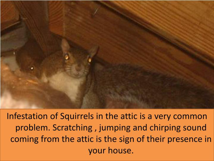 Infestation of Squirrels in the attic is a very common problem. Scratching , jumping and chirping sound coming from the attic is the sign of their presence in your house.