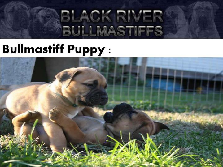 Bullmastiff Puppy :