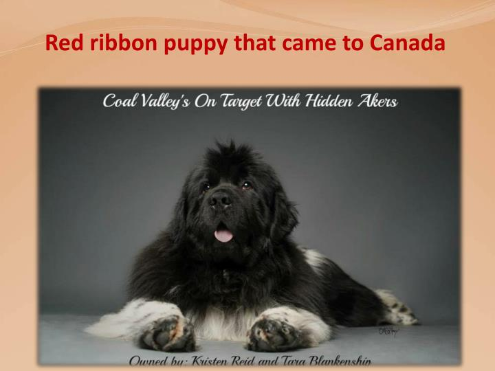 Red ribbon puppy that came to Canada