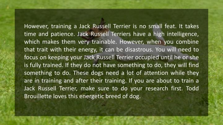However, training a Jack Russell Terrier is no small feat. It takes time and patience. Jack Russell Terriers have a high intelligence, which makes them very trainable. However, when you combine that trait with their energy, it can be disastrous. You will need to focus on keeping your Jack Russell Terrier occupied until he or she is fully trained. If they do not have something to do, they will find something to do. These dogs need a lot of attention while they are in training and after their training. If you are about to train a Jack Russell Terrier, make sure to do your research first. Todd