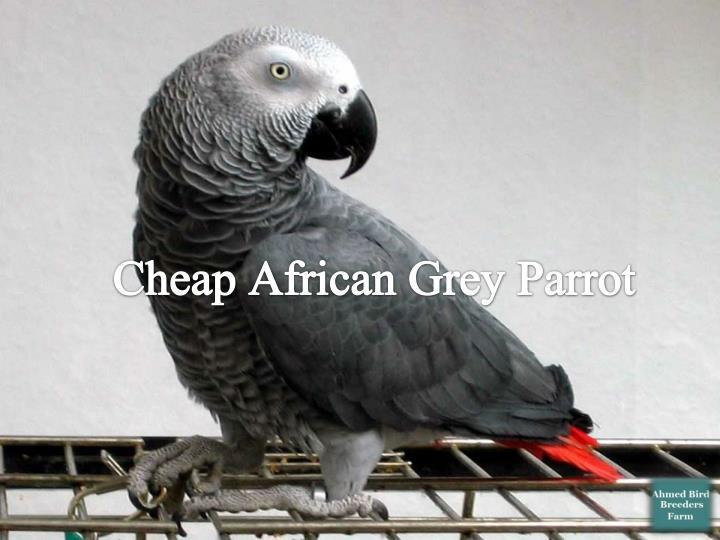 Cheap African Grey Parrot