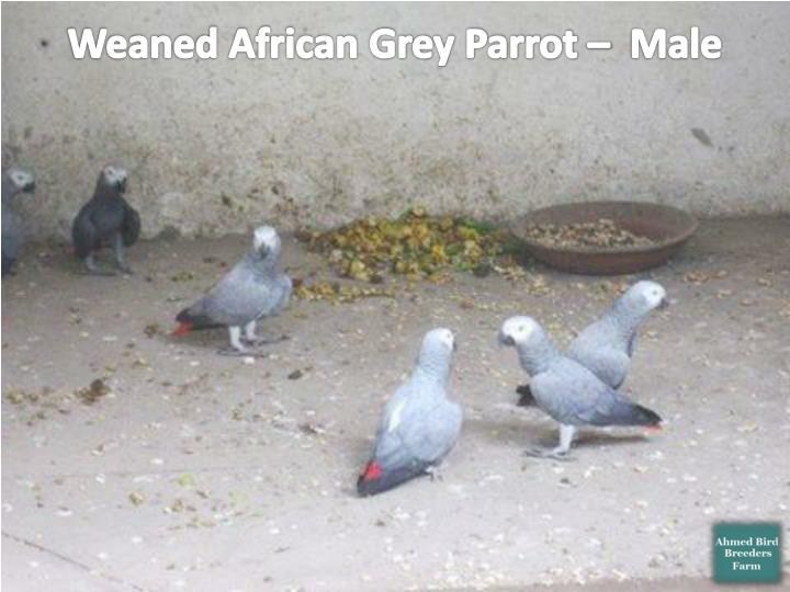 Weaned African Grey Parrot –  Male