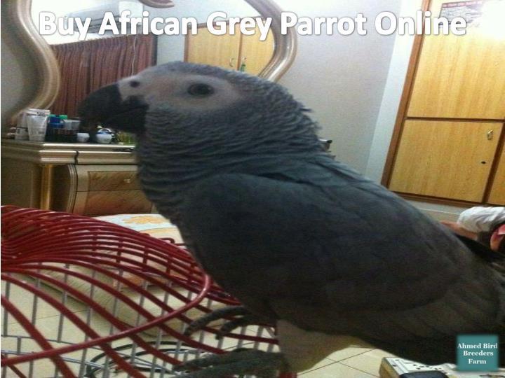 Buy African Grey Parrot Online