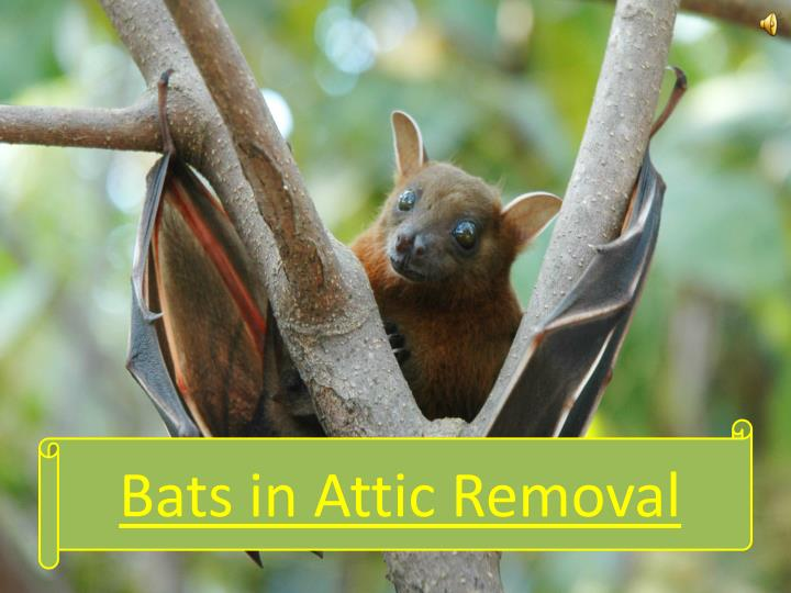 Bats in attic removal
