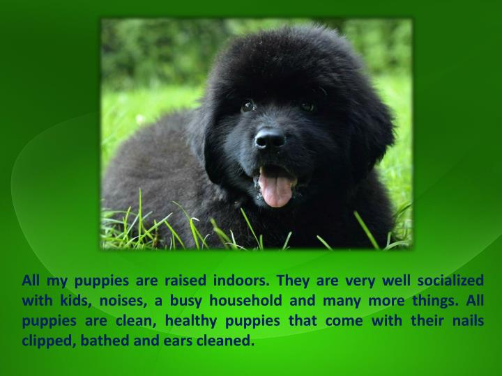 All my puppies are raised indoors. They are very well socialized with kids, noises, a busy household and many more things. All puppies are clean, healthy puppies that come with their nails clipped, bathed and ears cleaned.