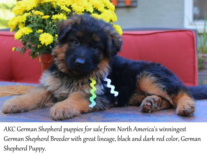 AKC German Shepherd puppies for sale from North America's winningest
