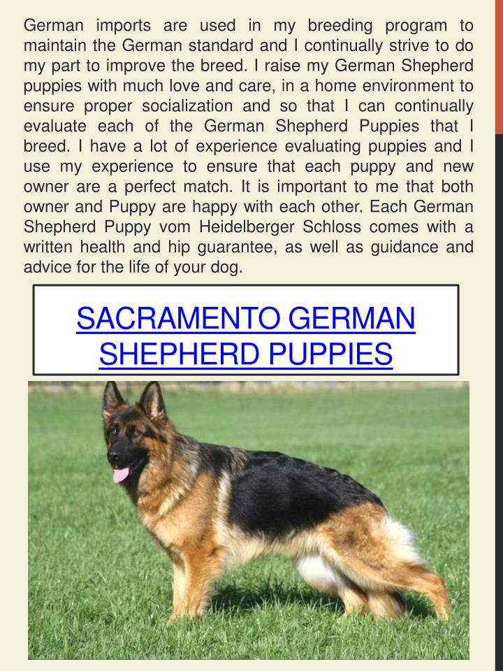 German imports are used in my breeding program to maintain the German standard and I continually strive to do my part to improve the breed. I raise my German Shepherd puppies with much love and care, in a home environment to ensure proper socialization and so that I can continually evaluate each of the German Shepherd Puppies that I breed. I have a lot of experience evaluating puppies and I use my experience to ensure that each puppy and new owner are a perfect match. It is important to me that both owner and Puppy are happy with each other. Each German Shepherd Puppy