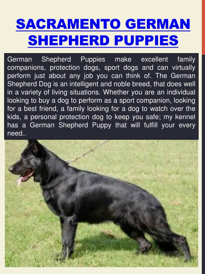 Sacramento German Shepherd Puppies