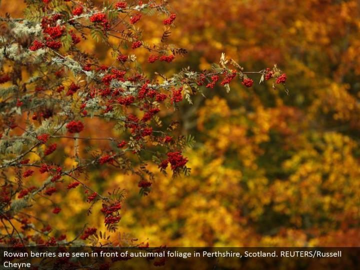 Rowan berries are found before harvest time foliage in Perthshire, Scotland. REUTERS/Russell Cheyne
