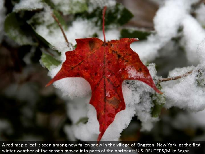 A red maple leaf is seen among new fallen snow in the town of Kingston, New York, as the primary winter climate of the season moved into parts of the upper east U.S. REUTERS/Mike Segar