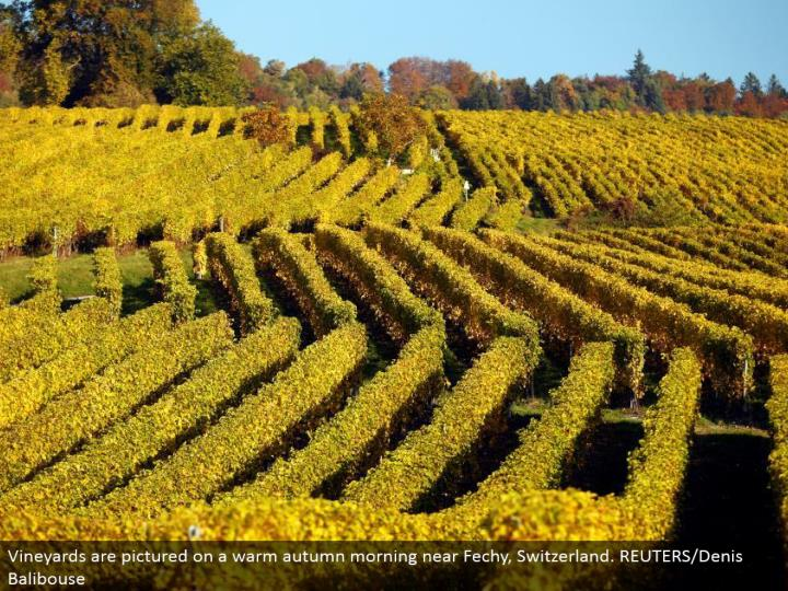 Vineyards are imagined on a warm harvest time morning close Fechy, Switzerland. REUTERS/Denis Balibouse