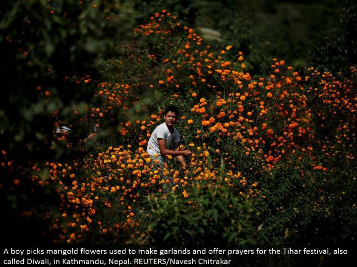 A kid picks marigold blooms used to make festoons and offer supplications for the Tihar celebration,...