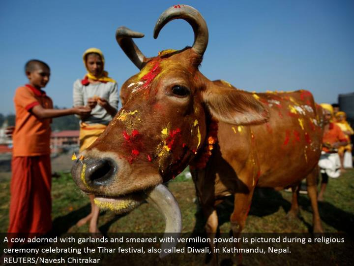 A dairy animals embellished with festoons and spread with vermilion powder is envisioned amid a religious function commending the Tihar celebration, likewise called Diwali, in Kathmandu, Nepal. REUTERS/Navesh Chitrakar