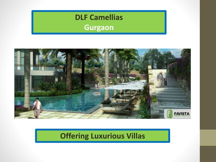 DLF Camellias