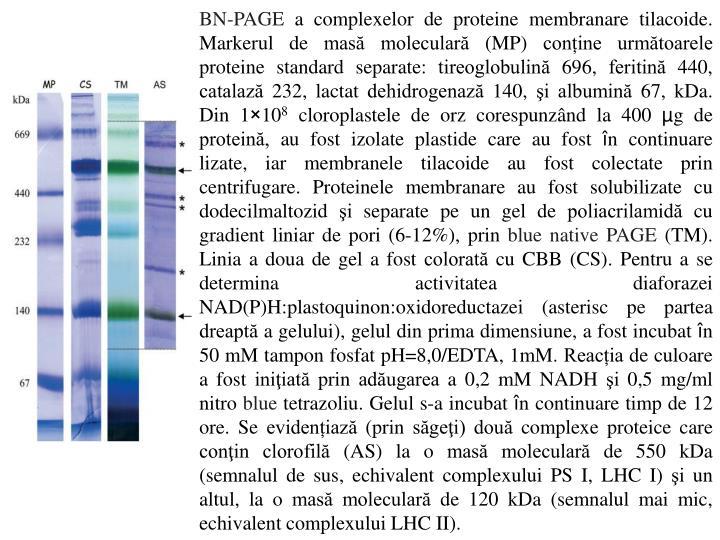 BN-PAGE a complexelor de proteine membranare tilacoide.