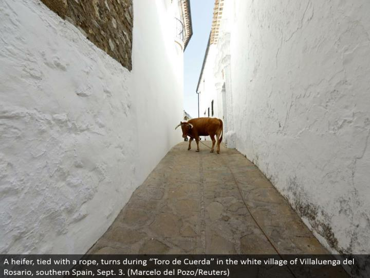 "A calf, tied with a rope, turns amid ""Toro de Cuerda"" in the white town of Villaluenga del Rosario, southern Spain, Sept. 3. (Marcelo del Pozo/Reuters)"