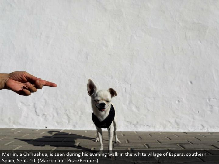 Merlin, a Chihuahua, is seen amid his night stroll in the white town of Espera, southern Spain, Sept. 10. (Marcelo del Pozo/Reuters)