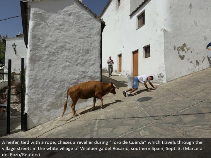 "A yearling, tied with a rope, pursues a reveler amid ""Toro de Cuerda"" which goes through the town avenues in the white town of Villaluenga del Rosario, southern Spain, Sept. 3. (Marcelo del Pozo/Reuters)"