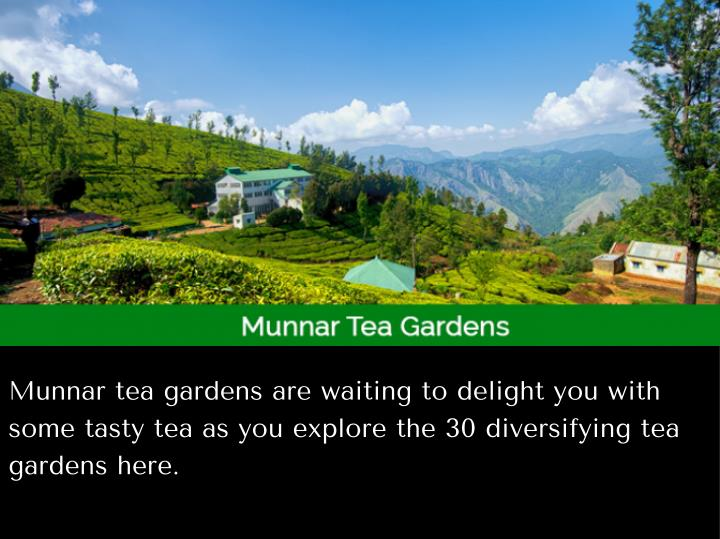 Munnar tea gardens are waiting to delight you with