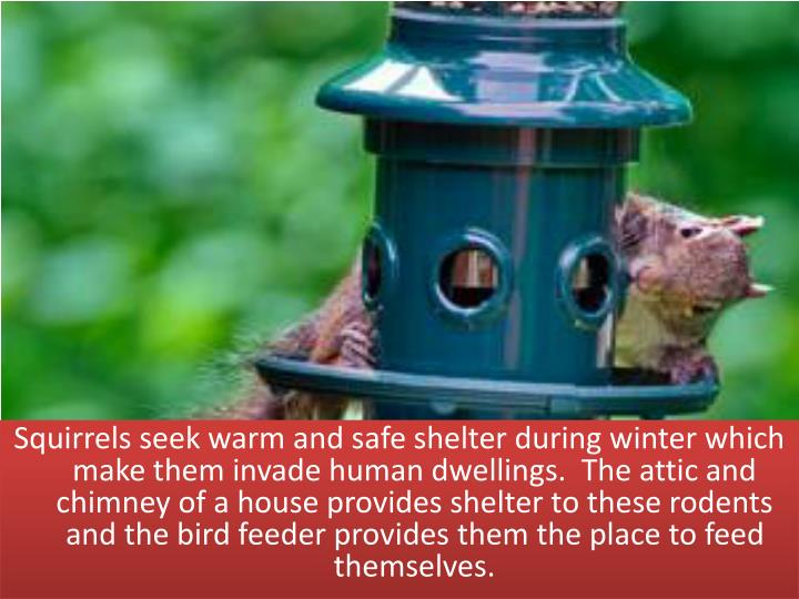 Squirrels seek warm and safe shelter during winter which make them invade human dwellings.  The attic and chimney of a house provides shelter to these rodents and the bird feeder provides them the place to feed themselves.