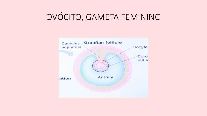 OVÓCITO, GAMETA FEMININO