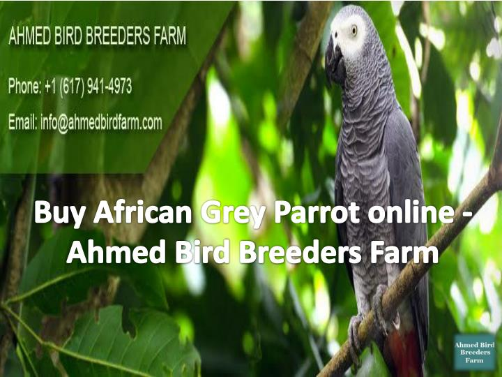 Buy African Grey Parrot online - Ahmed Bird Breeders Farm