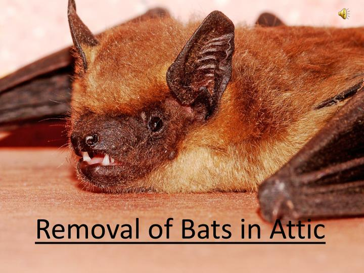 Removal of bats in attic