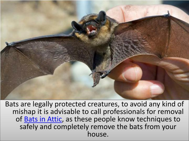 Bats are legally protected creatures, to avoid any kind of mishap it is advisable to call professionals for removal of