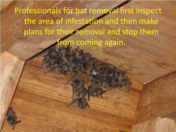 Professionals for bat removal first inspect the area of infestation and then make plans for their removal and stop them from coming again.