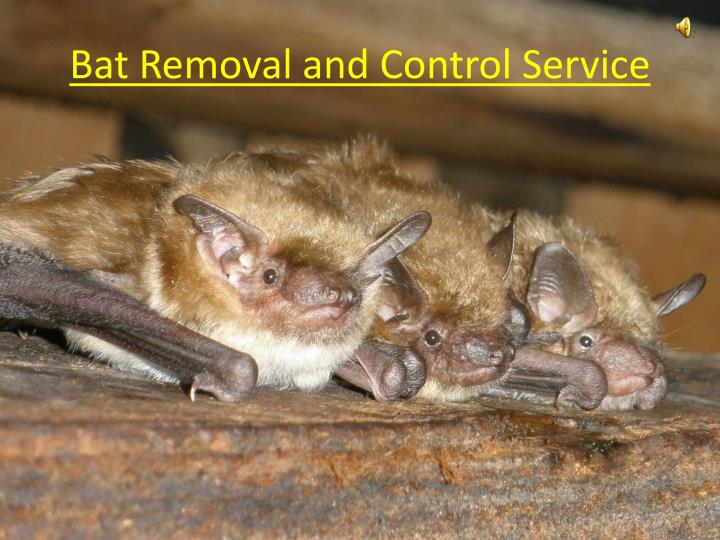 Bat removal and control service