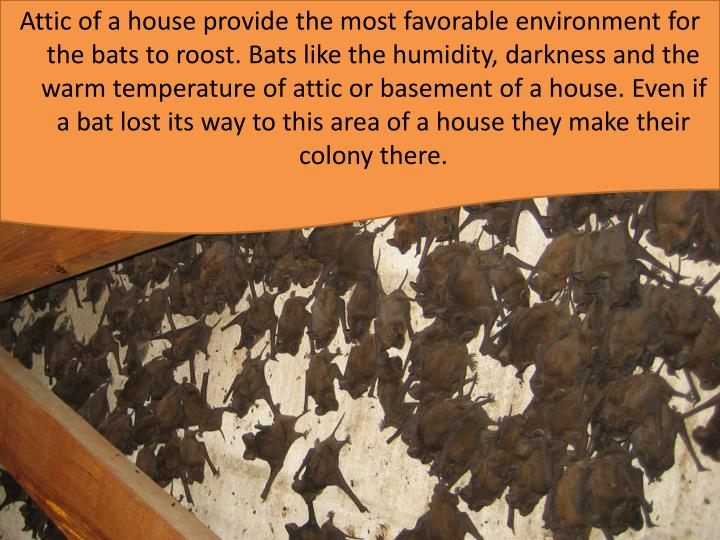 Attic of a house provide the most favorable environment for the bats to roost. Bats like the humidity, darkness and the warm temperature of attic or basement of a house. Even if a bat lost its way to this area of a house they make their colony there.