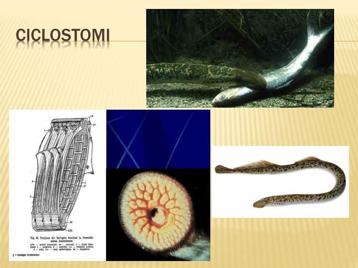 ciclostomi