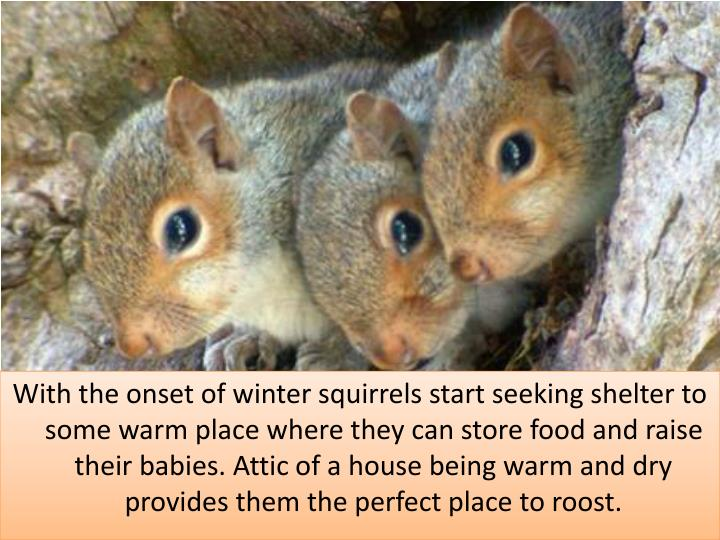 With the onset of winter squirrels start seeking shelter to some warm place where they can store food and raise their babies. Attic of a house being warm and dry provides them the perfect place to roost.