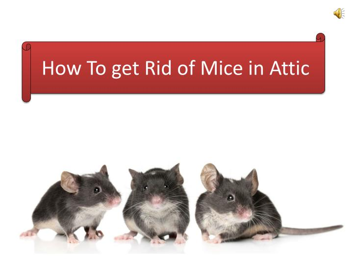 How to get rid of mice in attic