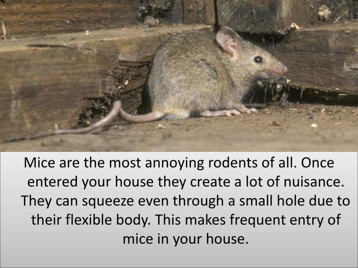 Mice are the most annoying rodents of all. Once  entered your house they