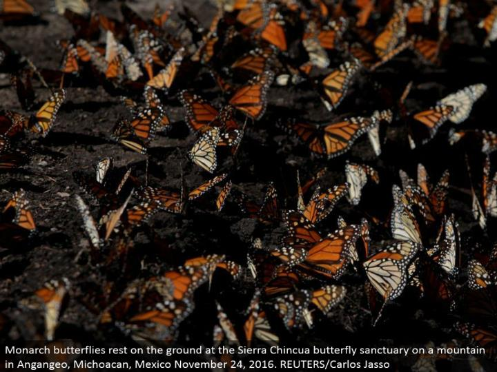 Monarch butterflies lay on the ground at the Sierra Chincua butterfly haven on a mountain in Angangeo, Michoacan, Mexico November 24, 2016. REUTERS/Carlos Jasso