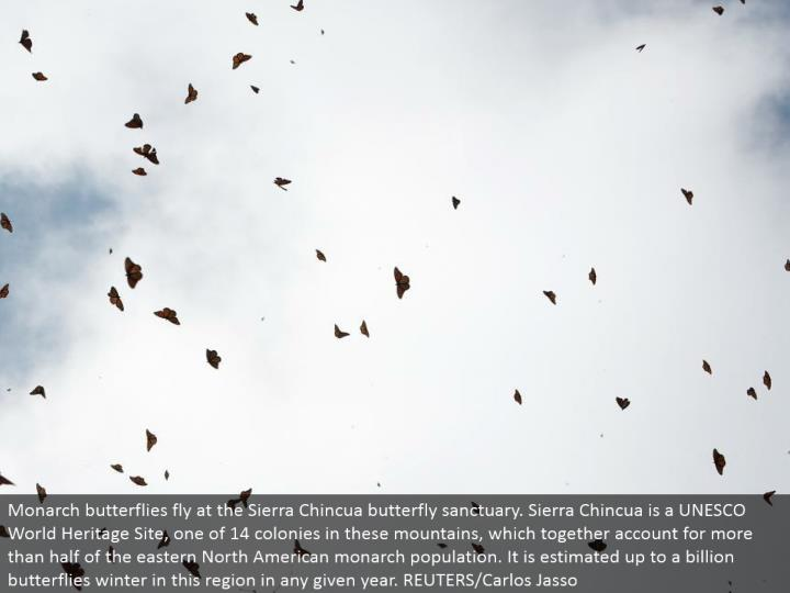 Monarch butterflies fly at the Sierra Chincua butterfly asylum. Sierra Chincua is an UNESCO World Heritage Site, one of 14 provinces in these mountains, which together record for the greater part of the eastern North American ruler populace. It is evaluated up to a billion butterflies winter in this district in any given year. REUTERS/Carlos Jasso