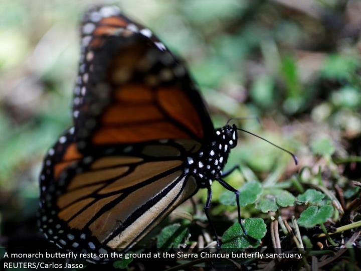 A ruler butterfly lays on the ground at the Sierra Chincua butterfly asylum. REUTERS/Carlos Jasso