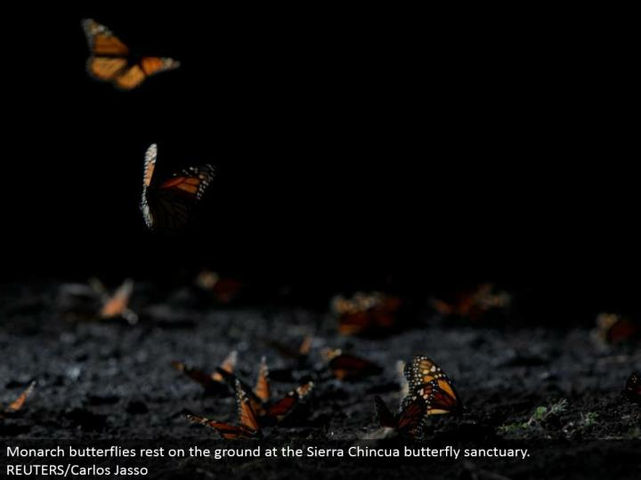 Monarch butterflies lay on the ground at the Sierra Chincua butterfly asylum. REUTERS/Carlos Jasso